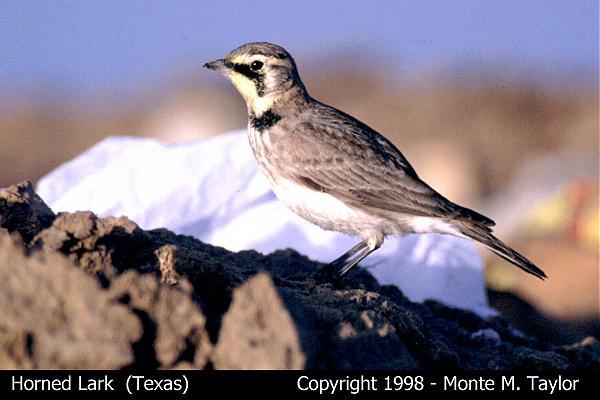 Horned Lark  (Texas)