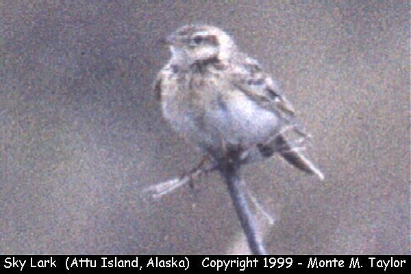 Skylark  -Eurasian Sky-Lark-  (Attu Island, Alaska)