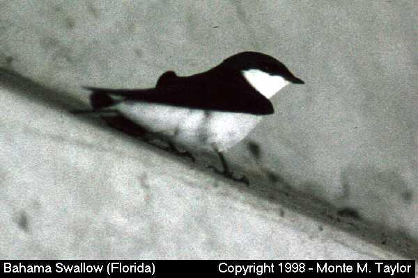 Bahama Swallow  (Florida City, Florida)
