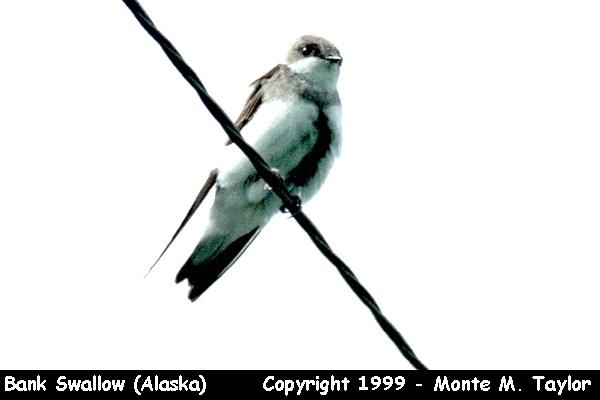 Bank Swallow  (Alaska)