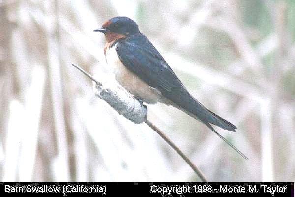 Barn Swallow  (California)