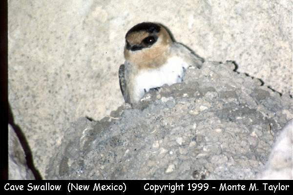 Cave Swallow  (Carlsbad Caverns, New Mexico)