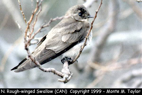 Northern Rough-winged Swallow  (Pt. Pelee, Ontario, Canada)