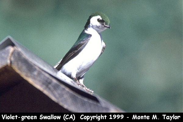 Violet-green Swallow  (California)