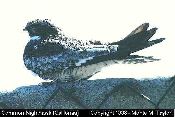 Common Nighthawk  (California)