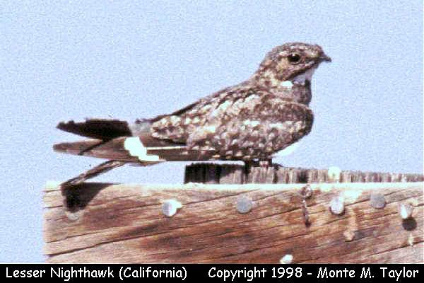 Lesser Nighthawk  (California)