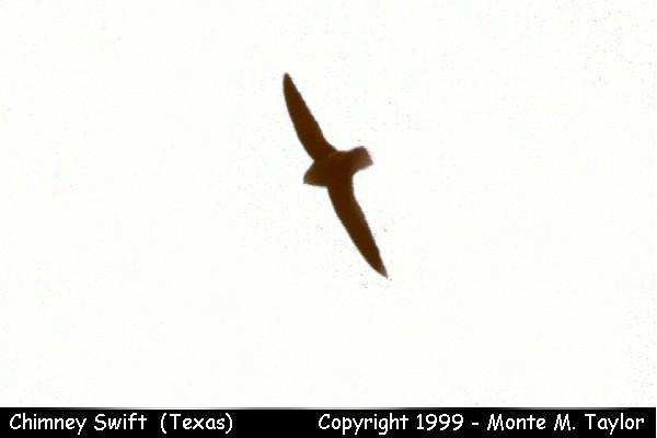 Chimney Swift (Texas)