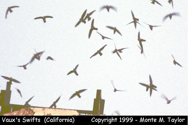 Vaux's Swift -flock entering chimney stack-  (California)
