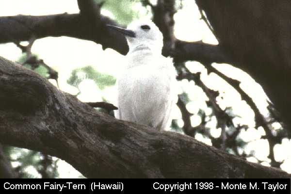 Common Fairy-Tern  (Hawaii)