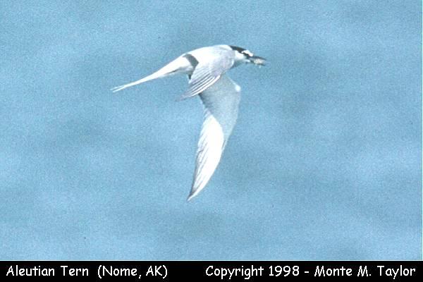 Aleutian Tern   (Nome, Alaska)