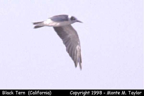 Black Tern -molting-  (California)