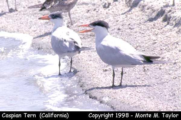 Caspian Tern  (California)