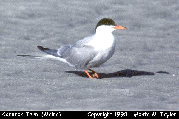 Common Tern  (Maine)