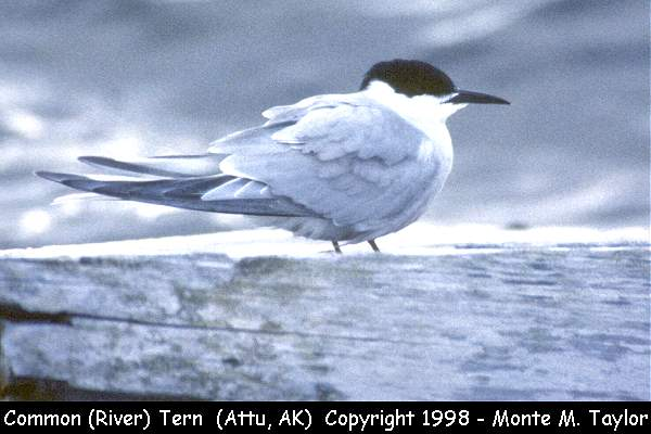Common (River) Tern  (Attu Island, Alaska)