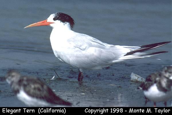 Elegant Tern  (California)
