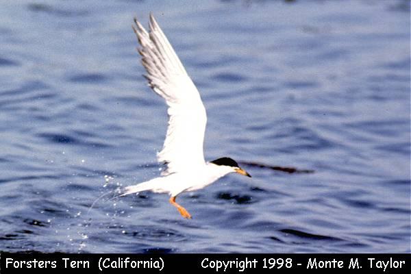 Forster's Tern  (California)