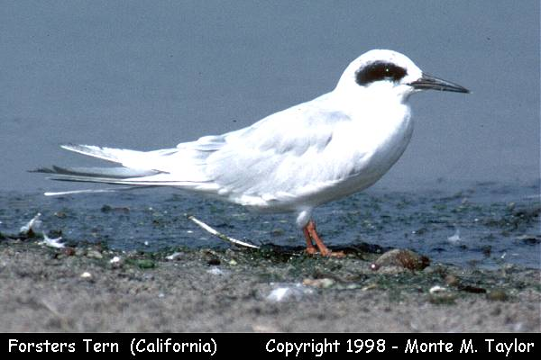 Forster's Tern -winter-  (California)