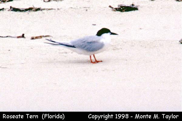 Roseate Tern  (Dry Tortugas, Florida)