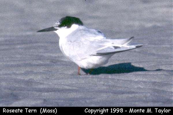 Roseate Tern -juvenile-  (Massachusetts)