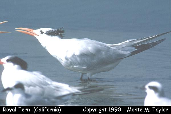 Royal Tern -winter-  (California)