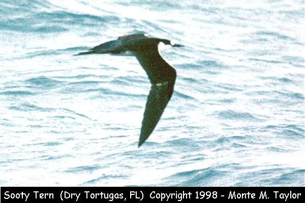 Sooty Tern  (Dry Tortugas, Florida)