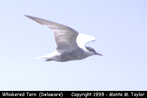 Whiskered Tern  (Delaware)