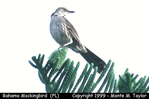 Bahama Mockingbird  (Key West, Florida)
