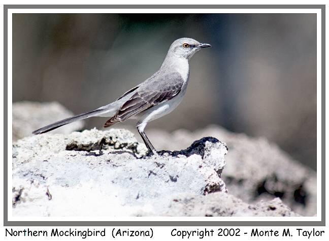 Northern Mockingbird (Arizona)
