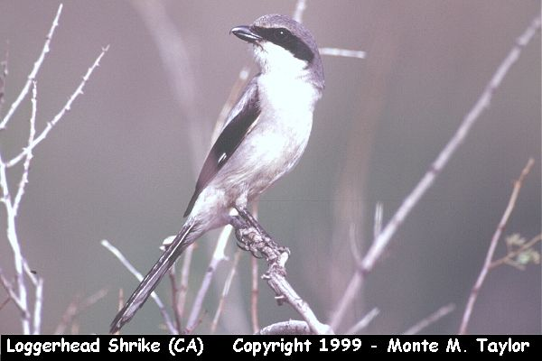 Loggerhead Shrike  (California)