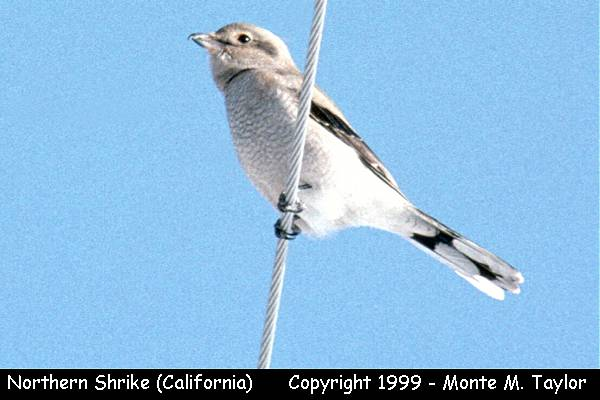 Northern Shrike  (California)