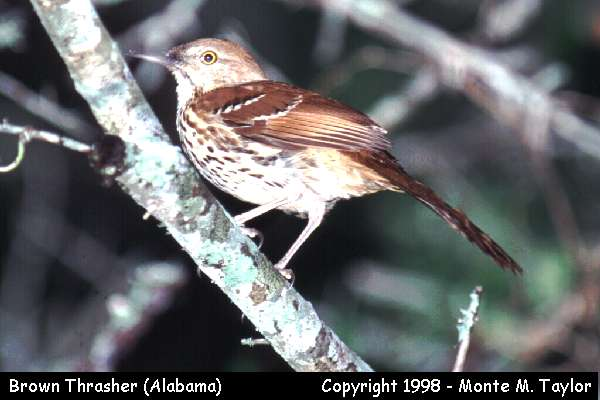 Brown Thrasher  (Alabama)