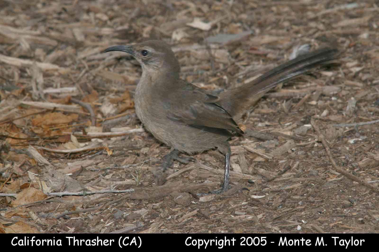 California Thrasher  (California)