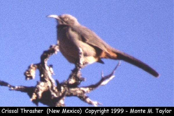Crissal Thrasher  (New Mexico)