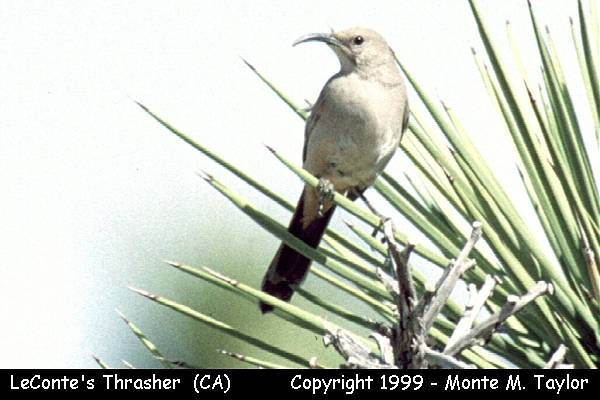 LeConte's Thrasher  (California)