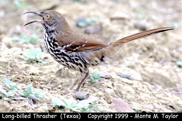 Long-billed Thrasher  (Texas)