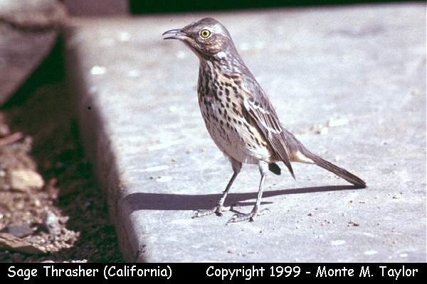 Sage Thrasher  (California)