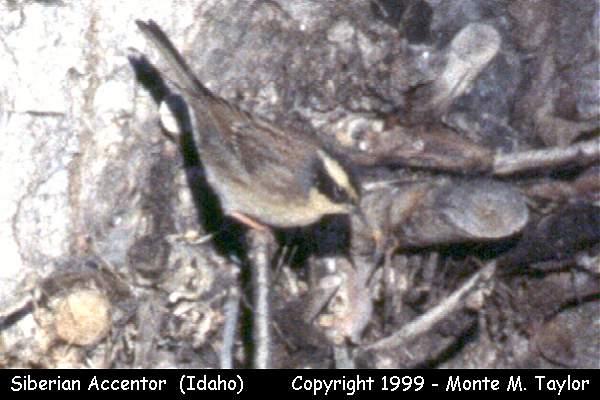 Siberian Accentor  (Hailey, Idaho)