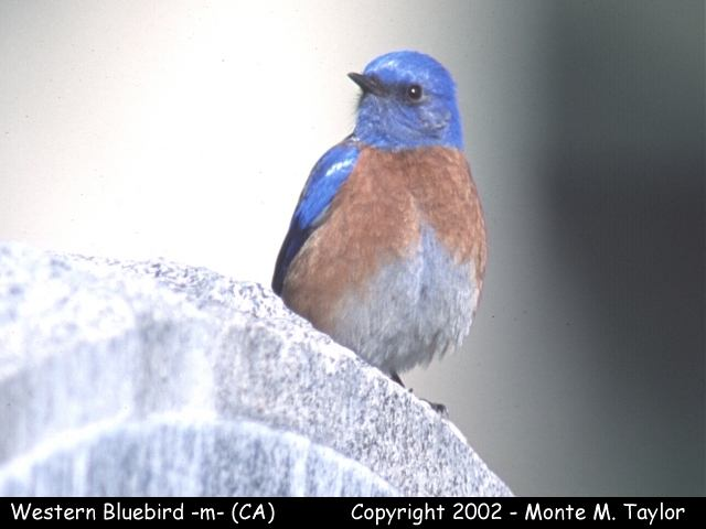 Western Bluebird -male-  (California)