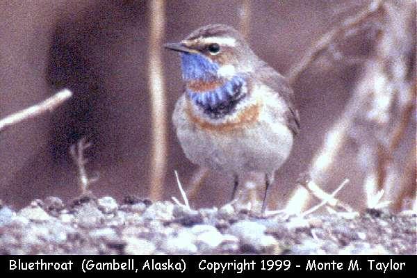 Bluethroat  (Gambell, St. Lawrence Island, Alaska)