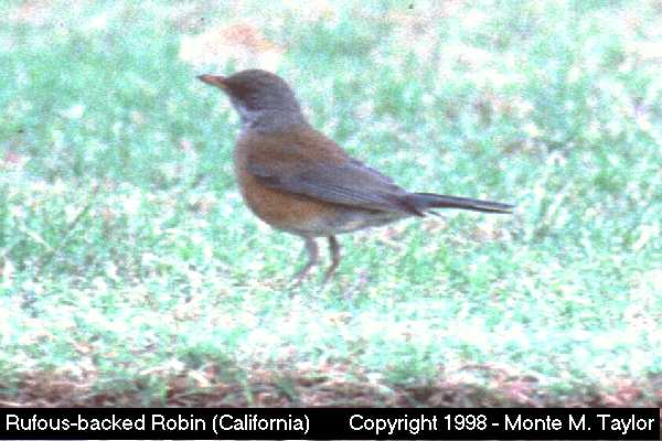 Rufous-backed Robin  (California)