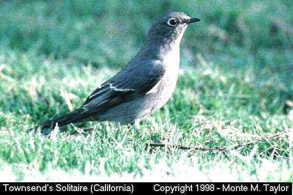 Townsend's Solitaire  (California)