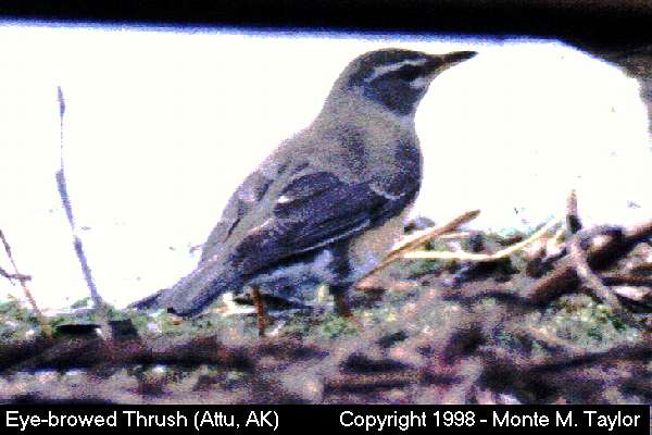 Eye-browed Thrush  (Attu Island, Alaska)