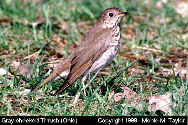 Gray-cheeked Thrush  (Ohio)