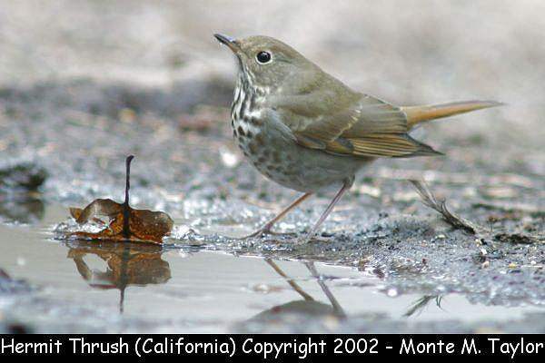 Hermit Thrush  (California)