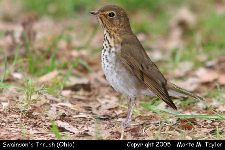Swainson's Thrush (Ohio)