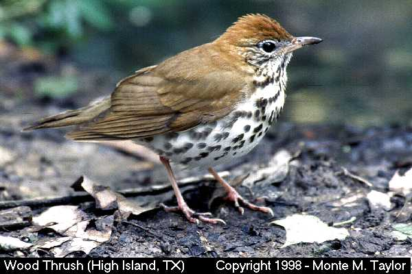 Wood Thrush  (High Island, Texas)