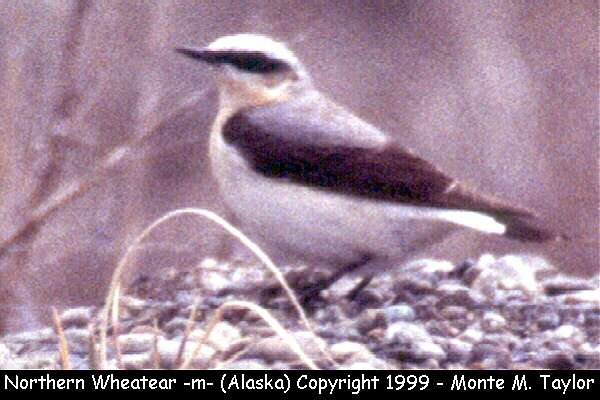Northern Wheatear -male-  (Gambell, St. Lawrence Island, Alaska)