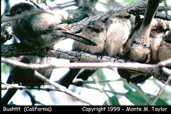 Bushtit -group-  (California)