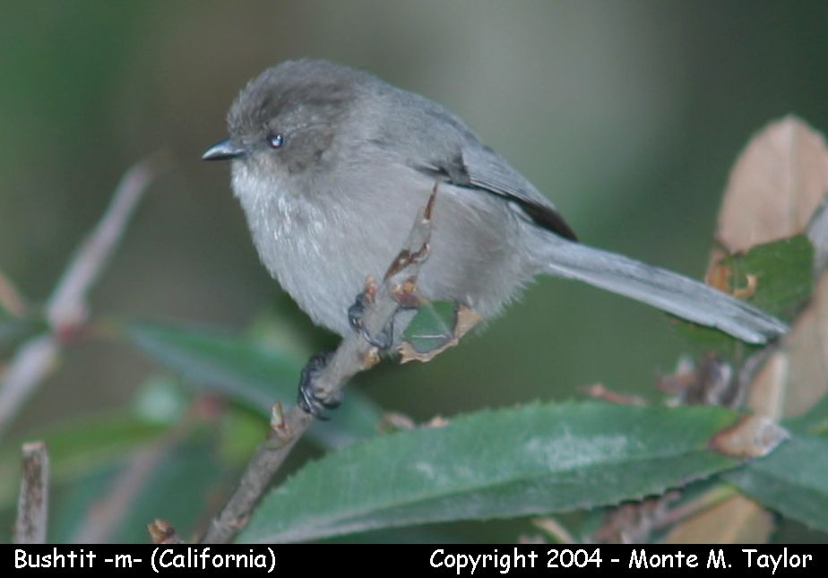 Common Bushtit - male- (California)