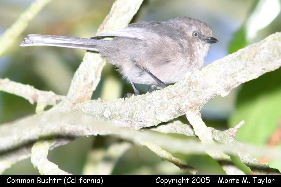 Common Bushtit - male- (California)